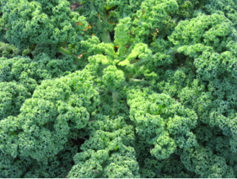 kale is an amazingly dense leafy vegetable that is packed with nutrients.